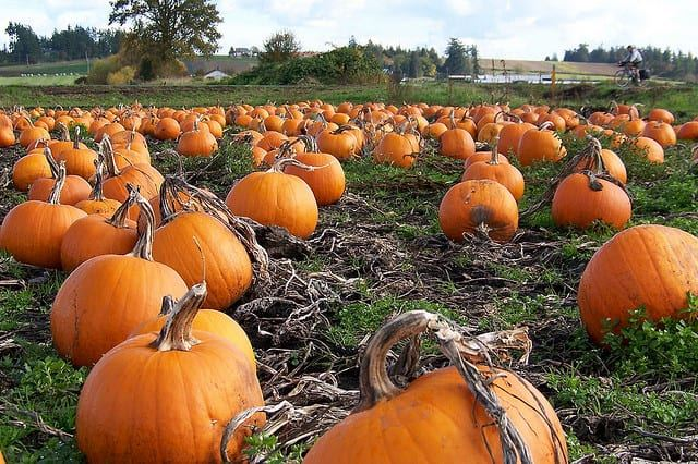 pumpkin-patches-fall-festivals